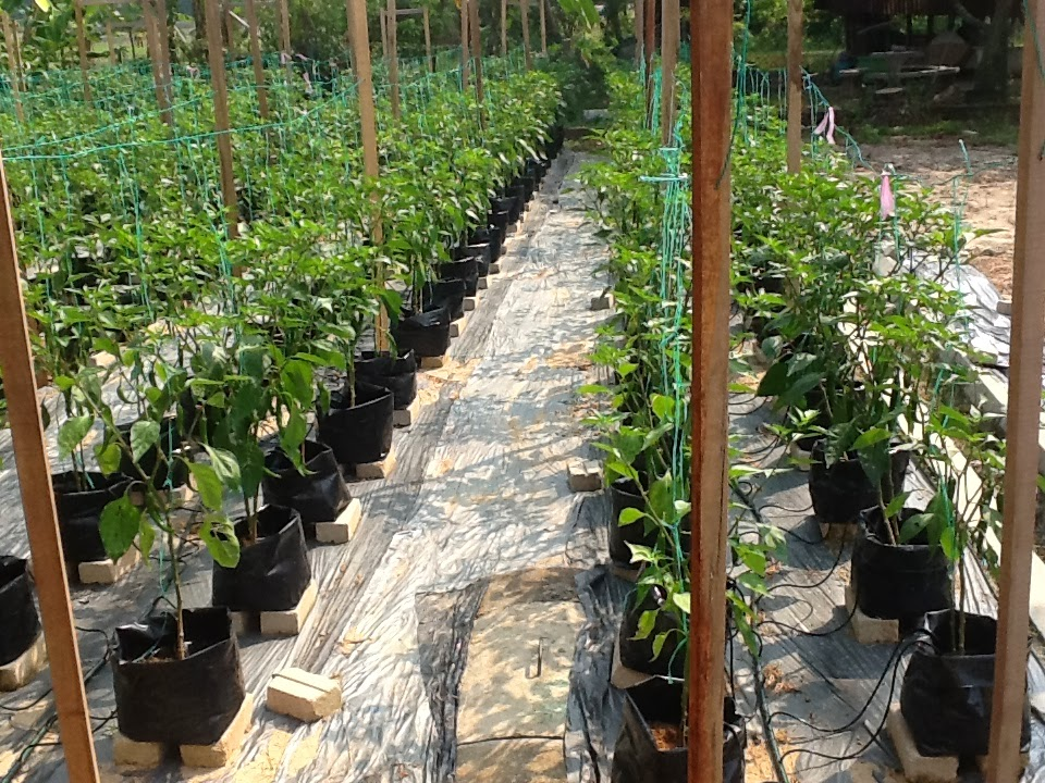 chilli-penanaman-cili-tanaman-fertigasi-hidroponik-chillies-part-time-sayuran-baja-fertilizer-cara-tanam